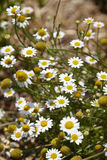 USA. Background of little white flowers in park - USA Royalty Free Stock Photos