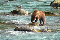 Bear hunting salmon in a river royalty free stock images