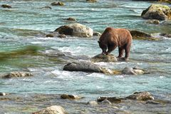 Bear hunting salmon in a river stock photo