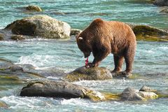 Bear hunting salmon in a river stock photos