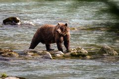 Wild grizzly bear in a river royalty free stock photos