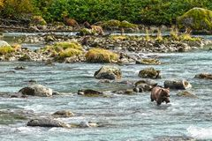Wild grizzly bears in a river stock photos