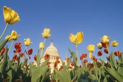 USA Capitol Budynek z tulipanami Obrazy Stock