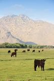 USA cattle ranch. California, United States - cattle ranch with Scodie Mountains in the background part of Sierra Nevada. Kern County Stock Photo