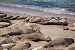 USA - Pacific Coast Highway one - seals colony Stock Image