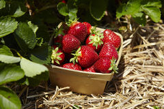 USA. Strawberries in natural background - USA Royalty Free Stock Photo