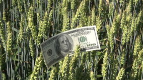 USA usd dollar banknote on wheat ears stock footage