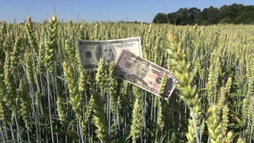 USA usd dollars banknotes on wheat ears stock video footage