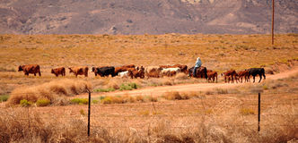 USA western cattle Stock Images