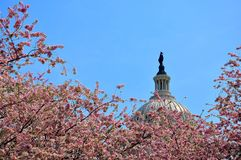 USA Wzgórze Kapitolu w czereśniowym kwiacie obraz stock