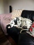 Usada dormido dálmata en el sofá Foto de archivo libre de regalías