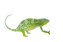 Usambara giant three-horned chameleon, on white. Usambara giant three-horned chameleon, Chamaeleo deremensis, female isolated on white stock images