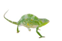 Usambara giant three-horned chameleon, on white. Usambara giant three-horned chameleon, Chamaeleo deremensis, female isolated on white stock photo