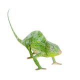 Usambara giant three-horned chameleon, on white. Usambara giant three-horned chameleon, Chamaeleo deremensis, female isolated on white stock image