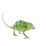 Usambara giant three-horned chameleon, on white. Usambara giant three-horned chameleon, Chamaeleo deremensis, female isolated on white royalty free stock image