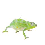 Usambara giant three-horned chameleon, on white. Usambara giant three-horned chameleon, Chamaeleo deremensis, female isolated on white stock photography