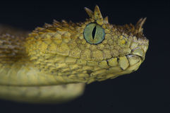 Usambara horned viper / Atheris ceratophora Stock Photos