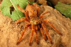Usambara Orange Baboon Tarantula. Usambara Orange Baboon (Pterinochilius murinus). A very beautiful tarantula. This individual was very aggressive and fast royalty free stock photo