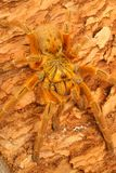 Usambara Orange Baboon Tarantula. Usambara Orange Baboon (Pterinochilius murinus). A very beautiful tarantula. This individual was very aggressive and fast. This stock image