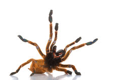 Usambara Orange Baboon Tarantula. (Pterinochilus murinus) isolated on white background royalty free stock image