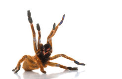 Usambara Orange Baboon Tarantula Royalty Free Stock Photography