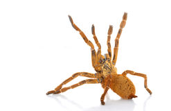 Usambara Orange Baboon Tarantula. (Pterinochilus murinus) isolated on white background royalty free stock images