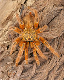 Usambara Orange Baboon Tarantula. Usambara Orange Baboon Tarantula (Pterinochus murinus stock photo