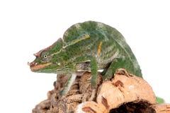 Usambara reuze drie-gehoornd kameleon, op wit Royalty-vrije Stock Foto's