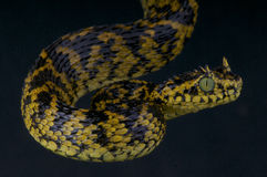 Usambara uzbrajać w rogi żmii, Atheris ceratophora/ Zdjęcie Royalty Free