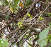 Usambara Vine Snake camouflaged in vegetation. An Usambara Vine Snake Thelotornis usambaricus, a a rare species from Kenya Africa perfectly camouflaged in the Stock Photography