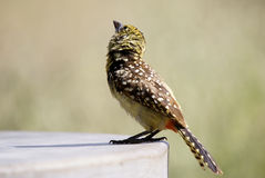 Usambiro Barbet Royalty Free Stock Image
