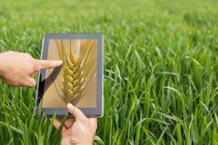 Usando a tabuleta no campo de trigo Agricultura moderna Futuros c do trigo fotos de stock royalty free