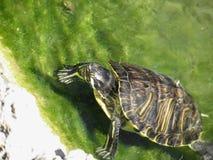 Uscire acquatico della tartaruga dell'acqua immagini stock