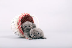 Uscire dei gattini di un canestro Immagine Stock