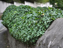 Use ivy for landscaping_4 Royalty Free Stock Photography