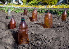 The use of plastic bottles to protect the seedlings.  stock photography