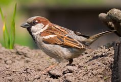 Use sparrow shows his courtship display on the earth level stock photo