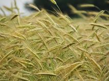 Barley field crop growing in NYS FingerLakes Royalty Free Stock Photography