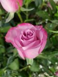 Light purple rose flower for gift of love. Used in flower arrangements, flower petals of colours, botany and decoration for gardens, flora and nature Royalty Free Stock Image