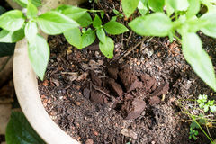 Used or spent coffee grounds being used as natural plants fertilizer Stock Images