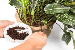 Used or spent coffee grounds being used as natural plants fertilizer.  Stock Photography
