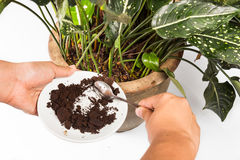 Used or spent coffee grounds being used as natural plants fertilizer.  Royalty Free Stock Photography