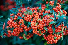 Pyracantha `Mohave` with red berries creates a shrub of great beauty. Used to create a hedge to preserve privacy stock image