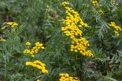 Medicinal plant Tansy, grown in the garden. royalty free stock image