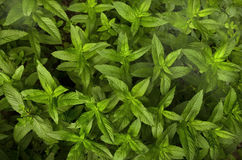 Useful plant mint peppery (Mentha piperita) Royalty Free Stock Image