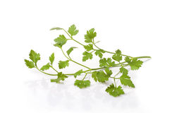 Useful plant parsley green Royalty Free Stock Photography