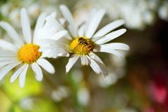 Wasp on flower. Useful and small wasp on daisy flower in garden Stock Images