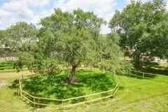 USF campus landscape: big tree Royalty Free Stock Image