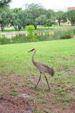 USF campus landscape: crane walking Royalty Free Stock Image