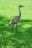 USF campus landscape: crane walking Royalty Free Stock Photography